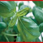 Le basilic est une excellente source de bêta-carotène, un antioxydant puissant qui empêche les dommages des radicaux libres. The Bridge MAG. Image