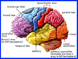 Selon une idée reçue, le cerveau se développe entre 5 et 12 et ans. Pour les chercheurs par contre, les modifications cérébrales les plus cruciales ont lieu pendant l'adolescence, et évolue après la vingtaine. The Bridge MAG. Image
