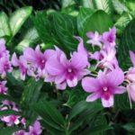 Médecins, scientistes, pharmaciens, botanistes, horticulteurs, esthéticiens, gastronomes et religieux du monde entiers se félicitent d'avoir apprivoisée l'orchidée sauvage depuis 1731. The Bridge MAG. Image